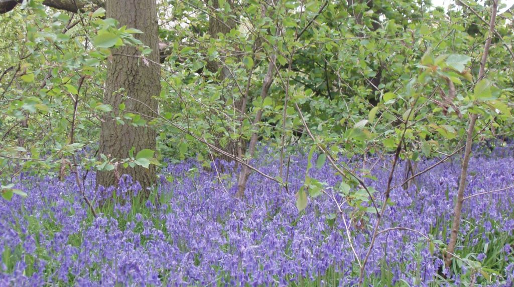 Top 6 beautiful places for Snowdrops and Bluebells in Sheffield